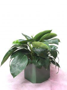 Cây có ý nghĩa là loại cây thích hợp cho những người quản lý, lãnh đạo trong một tổ chức, đơn vị.