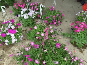Những người yêu thích hoa Dạ Yến Thảo thường là những người có rất giàu tình cảm, ấm áp.