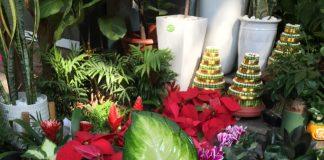 Đế Vương là cây được lựa chọn trong trang trí nội thất