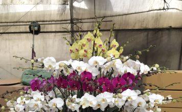 """Lan Hồ Điệp được mệnh danh là """"Nữ hoàng của các loài hoa"""""""