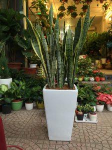 Địa chỉ bán cây: Shop cây cảnh 616 Hoàng Hoa Thám, Bưởi, Tây Hồ, Hà Nội.