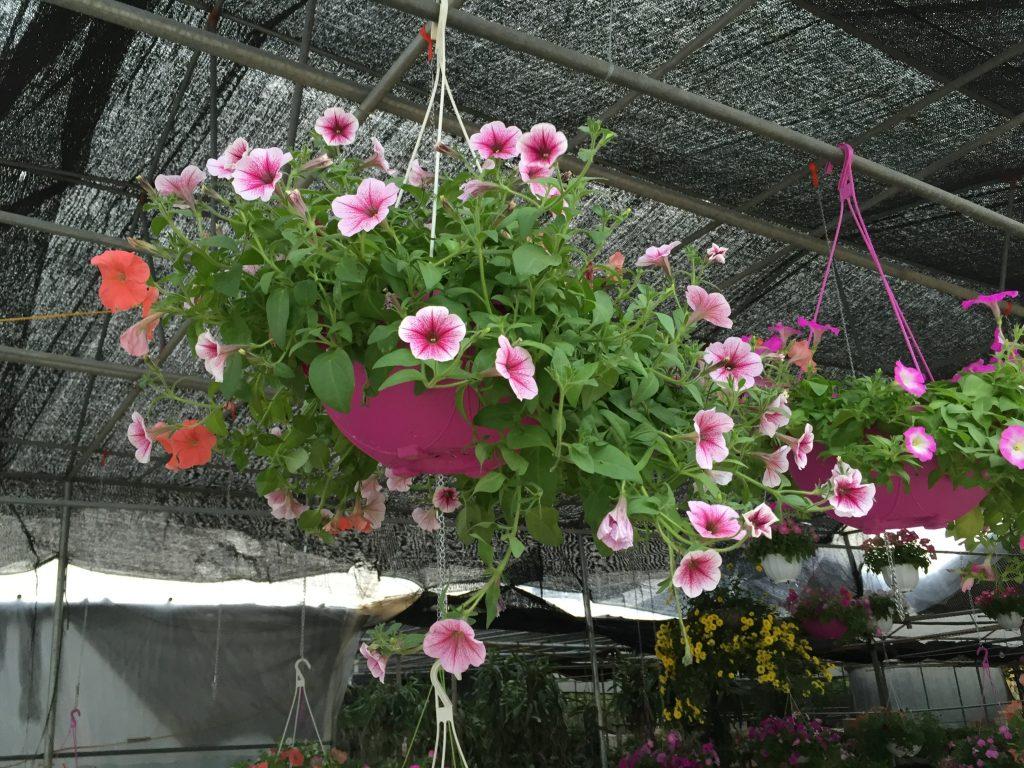 Cây có xuất xứ từ những vùng Nam Mỹ và trồng rất hợp với thời tiết, khí hậu Việt Nam.