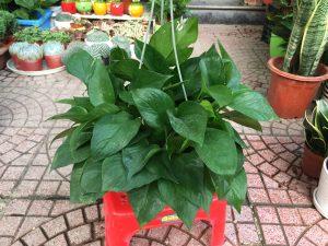 Cây được sử dụng trong thiết kế phong thủy cho người trồng.