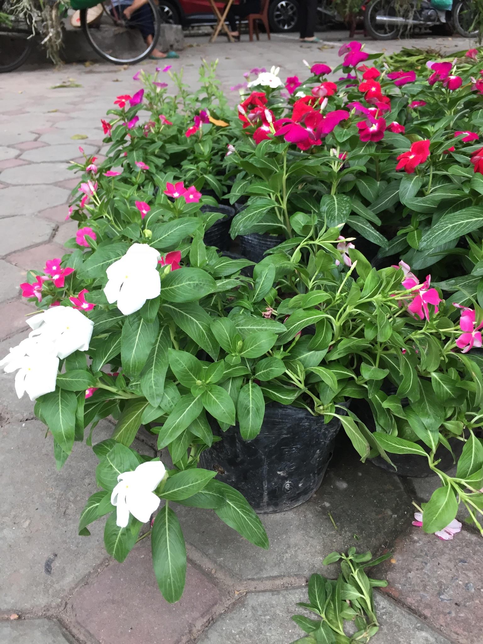 Hoa dừa cạn với màu trắng dịu dàng, hồng phấn trẻ trung hoặc màu tim tím nhớ thương, tạo sự bình yên, ấm áp.