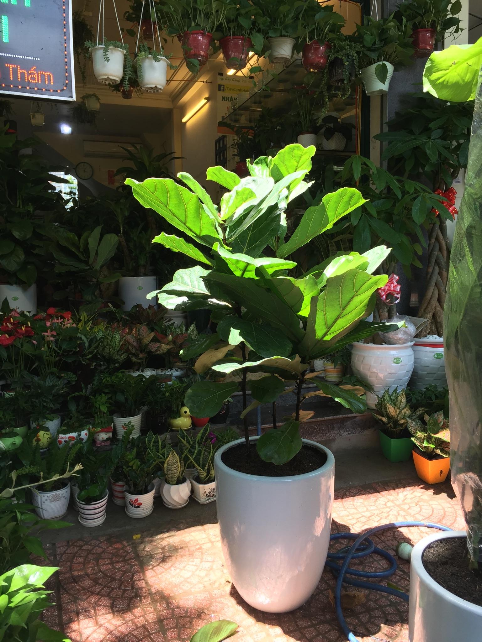 Các bệnh thường gặp ở cây bàng Singapore
