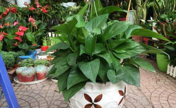 Vạn Niên Thanh là cây cảnh trồng phong thủy