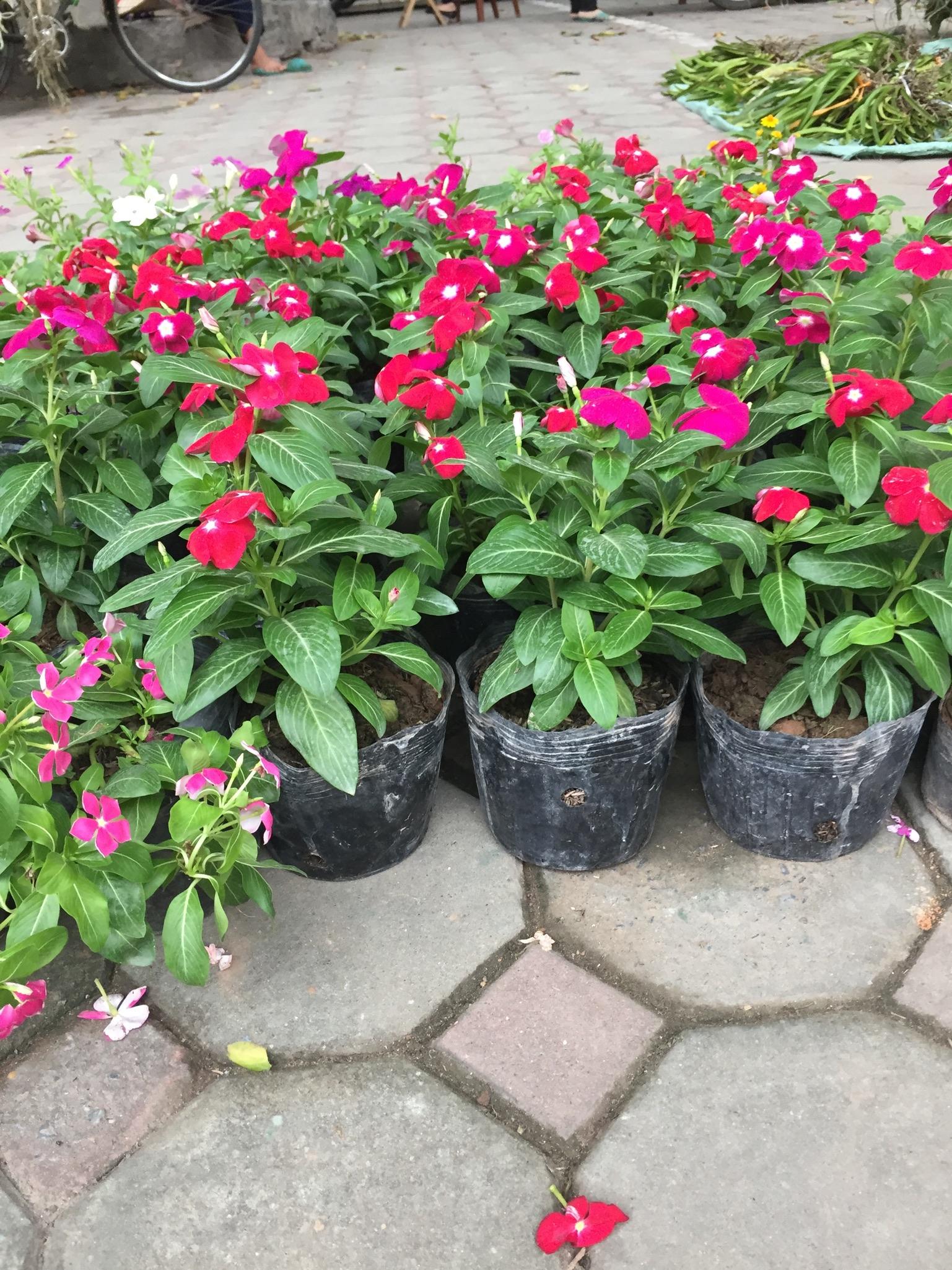 Hoa nở quanh năm, những chậu hoa dừa cạn mang lại cho gia chủ nhiều may mắn.