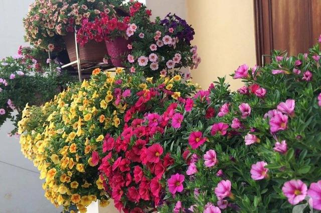 Hoa Triệu Chuông trang trí cho không gian thêm đẹp đẽ và tươi mới. Cây xanh tốt quanh năm nên trồng trang trí rất phù hợp.