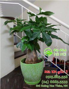 Cây Kim Ngân là giống cây thân thảo