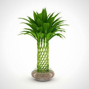 Cây thủy canh là loại cây đang rất được ưa chuộng