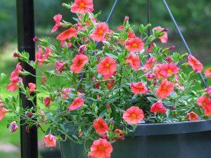 Cây hoa triệu chuông thuộc loại cây hoa thân thảo