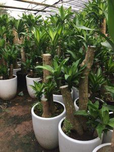Đây là một loại cây có nguồn gốc từ Tây Phi nhưng hiện nay đã được trồng phổ biến ở nhiều nơi trên thế giới, trong đó có Việt Nam.