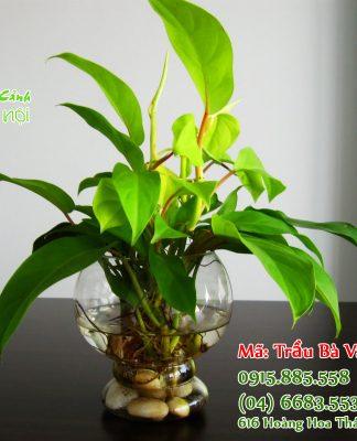 Khi trưng Trầu Bà người ta tin rằng cây sẽ mạng lại vận khí tốt, may mắn, phúc lợi cho người trồng, người sở hữu.