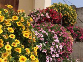 Hoa Triệu Chuông nở rực rỡ ở hiên nhà.