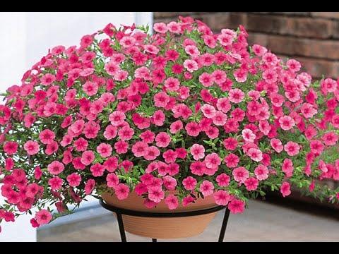 Cây hoa Triệu Chuông dễ trang trí bởi vẻ đẹp rực rỡ, thu hút.
