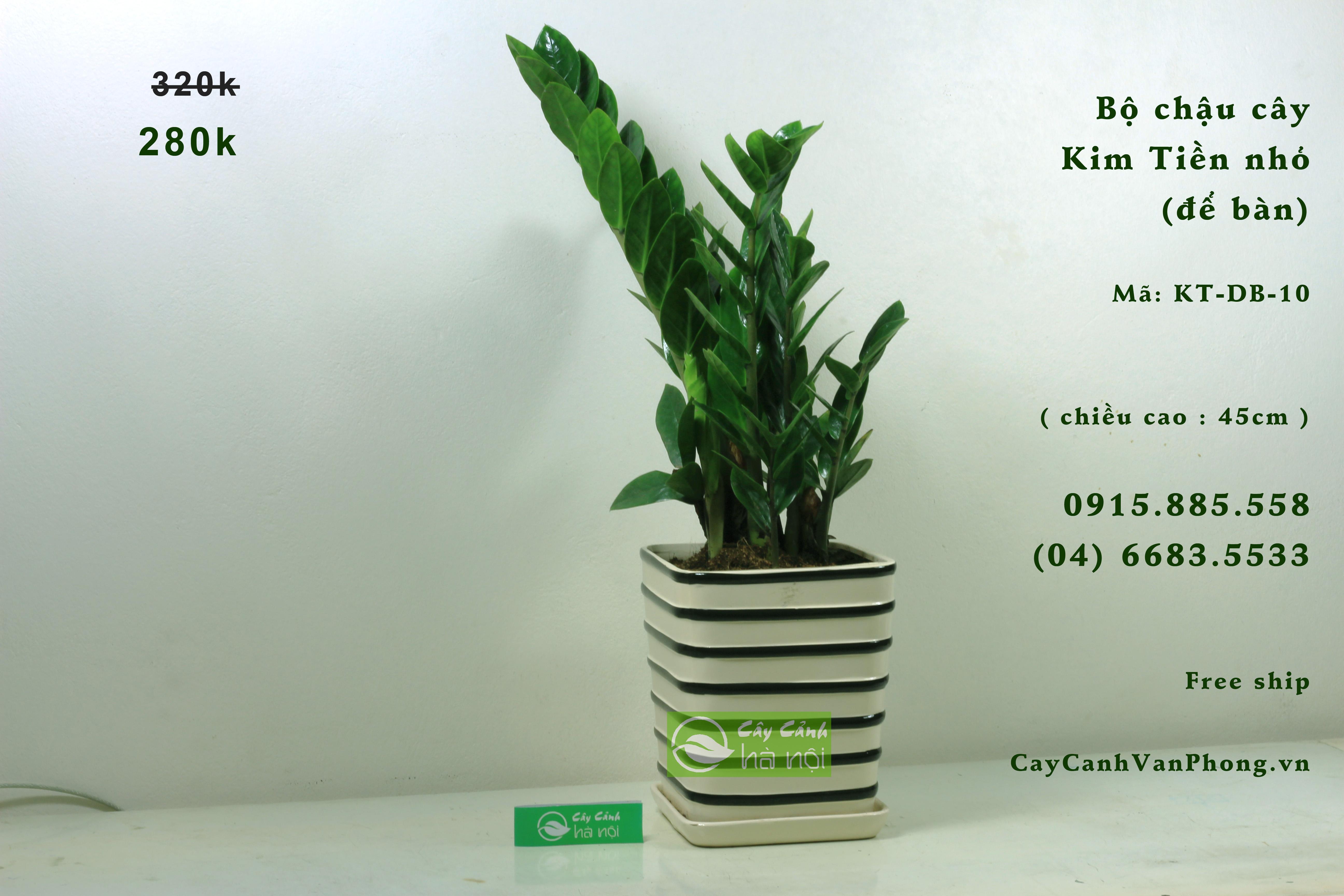Kim Phát Tài là loại cây dễ chăm sóc, dễ lớn, không yêu cầu cao về điều kiện dinh dưỡng.