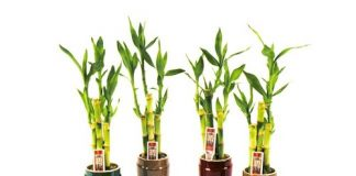 Cây có nguồn gốc bản địa của Tây Phi, Tanzania và Zambia nhưng hiện nay được trồng làm cây cảnh ở nhiều nơi.