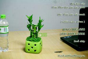 Cây Phát Lộc rất dễ trồng, có thể sống trong môi trường khắc nghiệt.